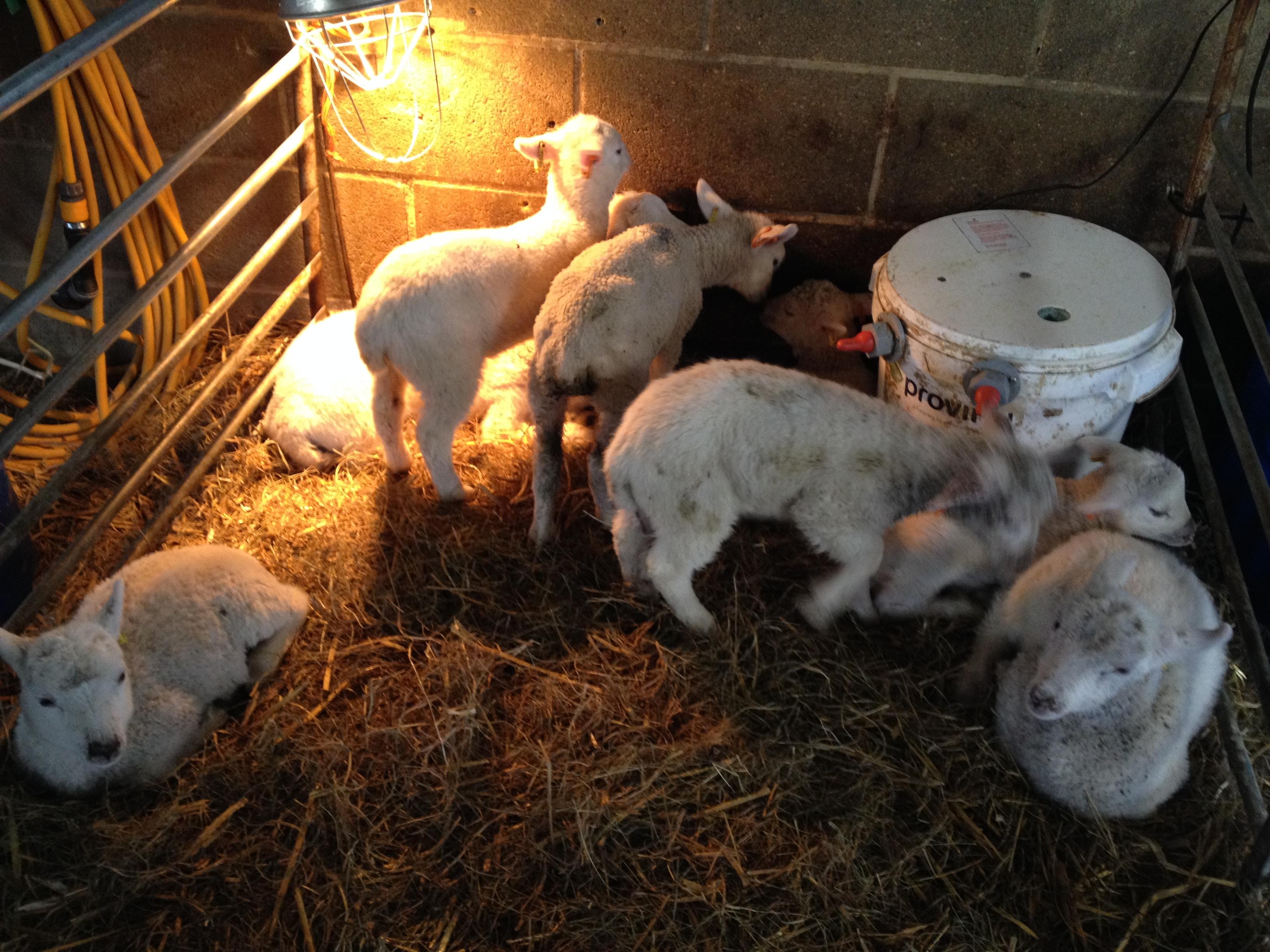 Lambing_2016_lambs1
